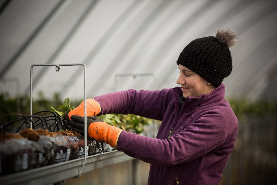 woman planting strawberries in tunnel