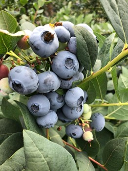 blueberry bunch on the plant